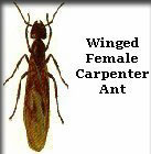 Winged Female Carpenter Ant